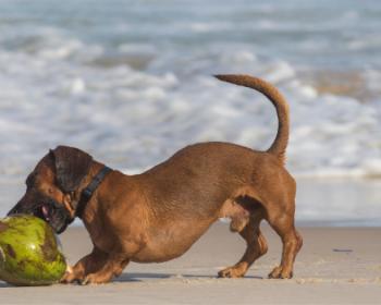 Kokosovo olje je lahko koristen dodatek pasji prehrani